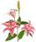 Lilium Oriental Rosa
