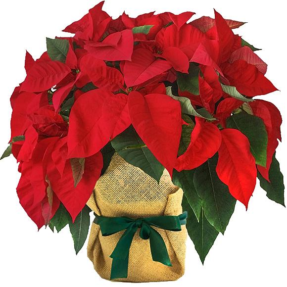 Flores para Navidad | Arreglos Florales Navideños | FloresFrescas