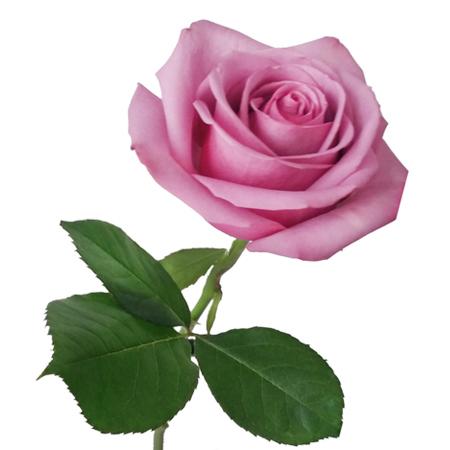 Ramo 12 rosas rosas flores frescas a domicilio - Rosas rosas hermosas ...