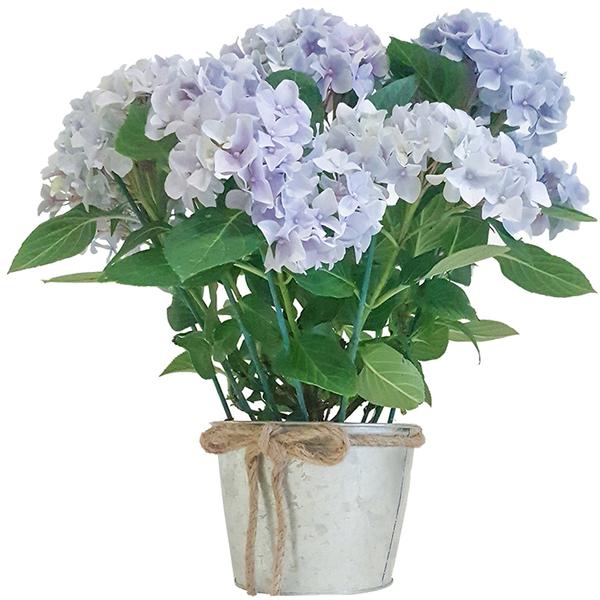 Plantas online hortensias online - Poda de hortensias en maceta ...