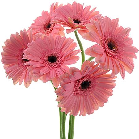 enviar gerberas rosas enviar flores a domicilio
