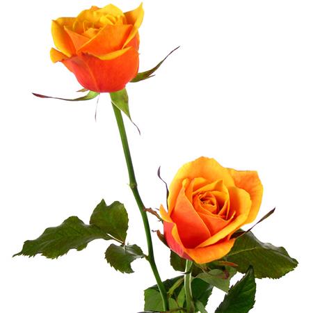<<<Poemas de colores...>>> 12_Rosas_Cherry_Brandy_3_floresfrescas.com