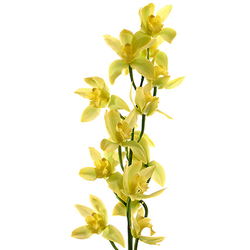 Orquídea Tailandesa