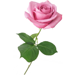 Rosas Aqua Tallo Largo