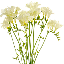 Freesias Variadas