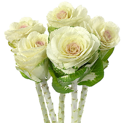 Brassica blanca