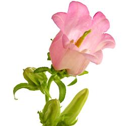 Campanula rosa