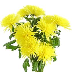 Anastasia amarilla
