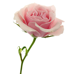 3 Rosas Rosas