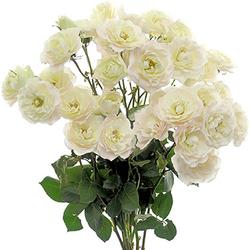 Rosa Pitimini Blanca