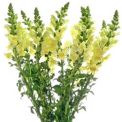 Dragonaria amarilla
