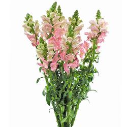 Dragonaria rosa