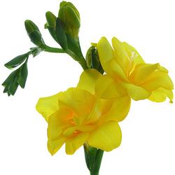 Freesias amarillas