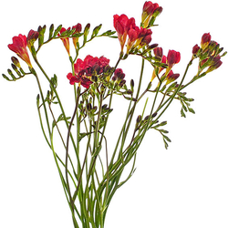 Freesia roja