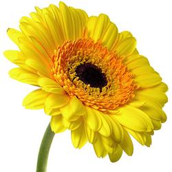 Gerbera amarilla