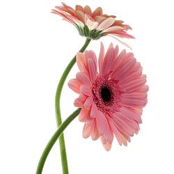 Gerbera rosa