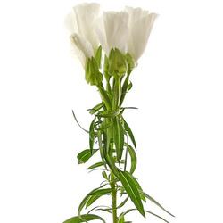 Godetia blanca