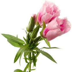 Godetia rosa