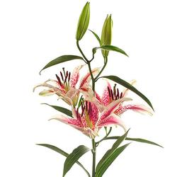 Lilium stargazer