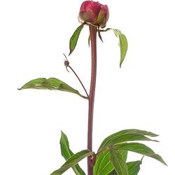 Peonia roja