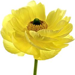 Ranúnculo amarillo