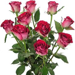Rosas calabria