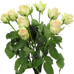 Rosas kiwi