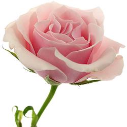 Rosa rosita ramificada