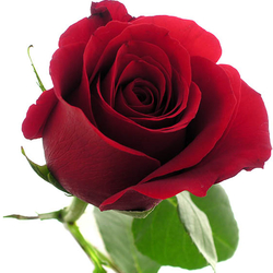Rosas color rojo forever young