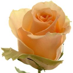 Rosas swing