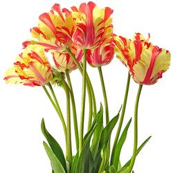 Tulipanes rococó