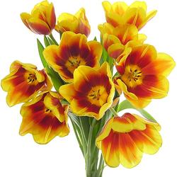 Tulipanes bicolor rojos y amarillos