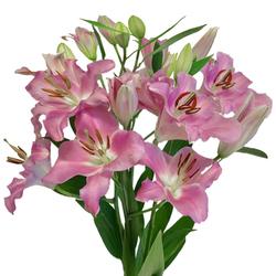 Lilium Oriental
