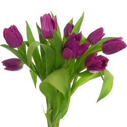 Tulipanes lilas y morados