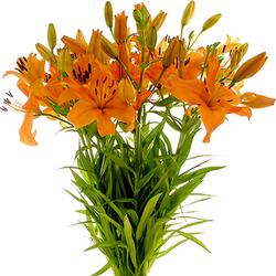 Liliums
