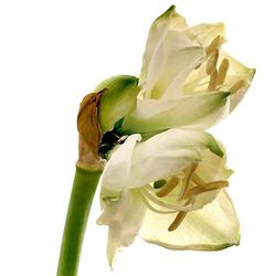 Amaryllis blanca