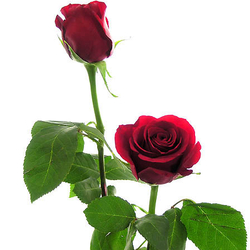 Ramo de 41 Rosas Rojas