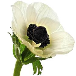 Anémona blanca