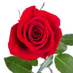 Ramo 42 Rosas Rojas Tallo Largo
