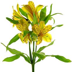 Alstroemerias amarillas