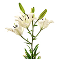 Vara Lilium Oriental Blanco