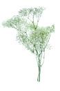 Tres varas   de Paniculata