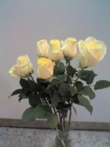 Rosas vendela
