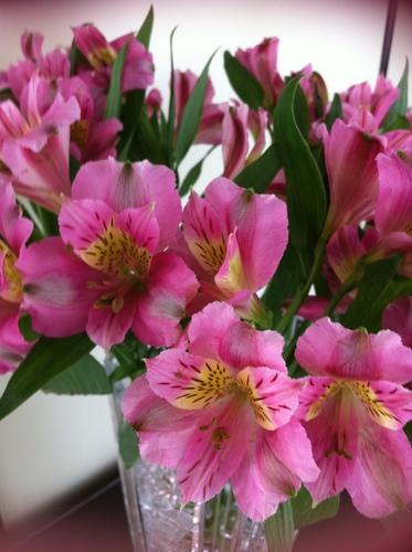 Alstroemeria rosa
