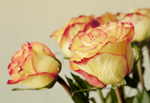 Rosa Cherry Brandy