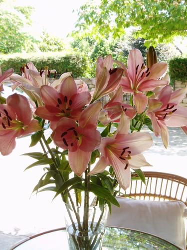 Lilium rosa