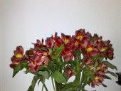 Alstroemeria roja