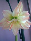 Amaryllis variados