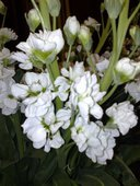 Dragonaria blanca