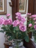 Rosa rosa ramificada